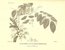 THE LANSEH FRUIT